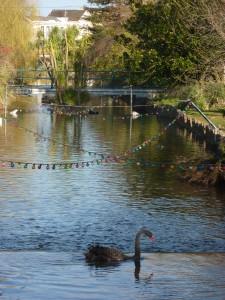 Dawlish's famous black swans